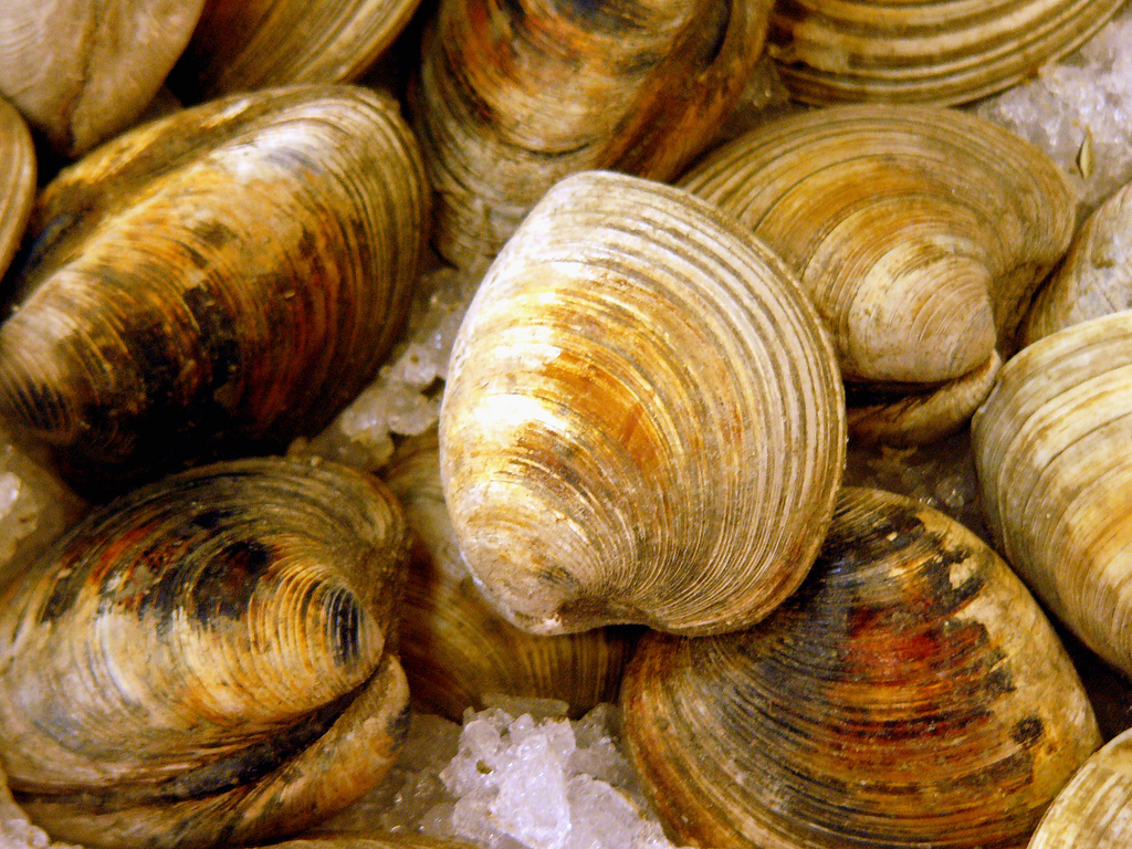 For the Love of Clams